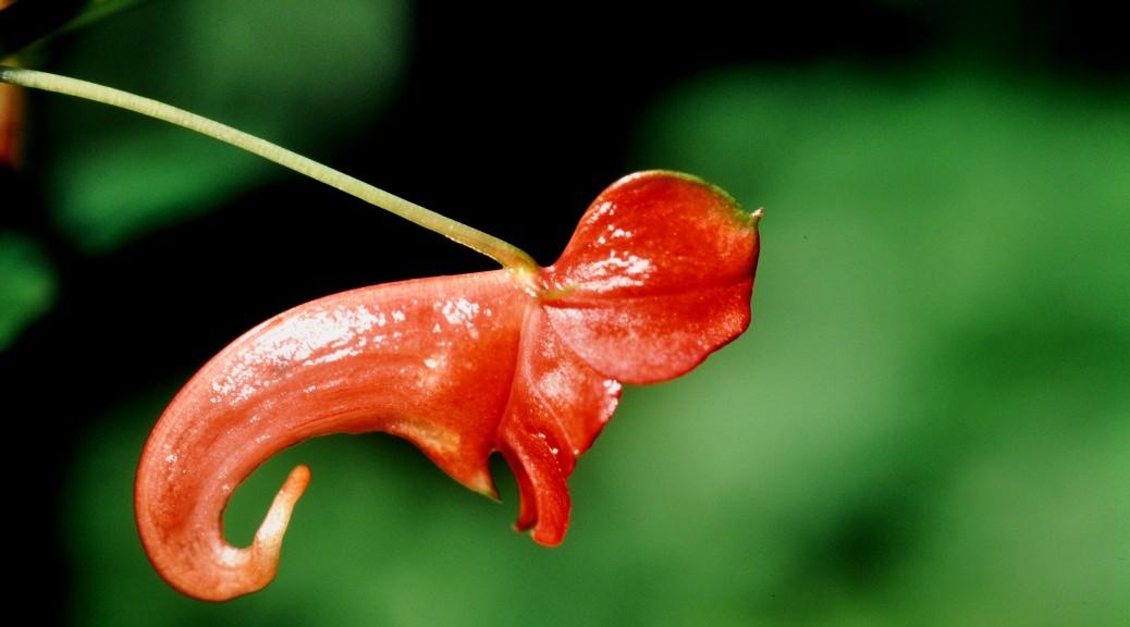 Impatiens yogeshwari (2) (Balsaminaceae) © W. Barthlott, Lotus-Salvinia.de (Madagascar, Andohahela, 20-03-2001, Type locality)
